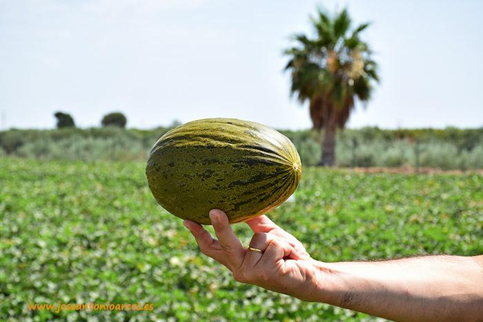 'Kubari', nueva variedad de melón piel de sapo de pequeño calibre.