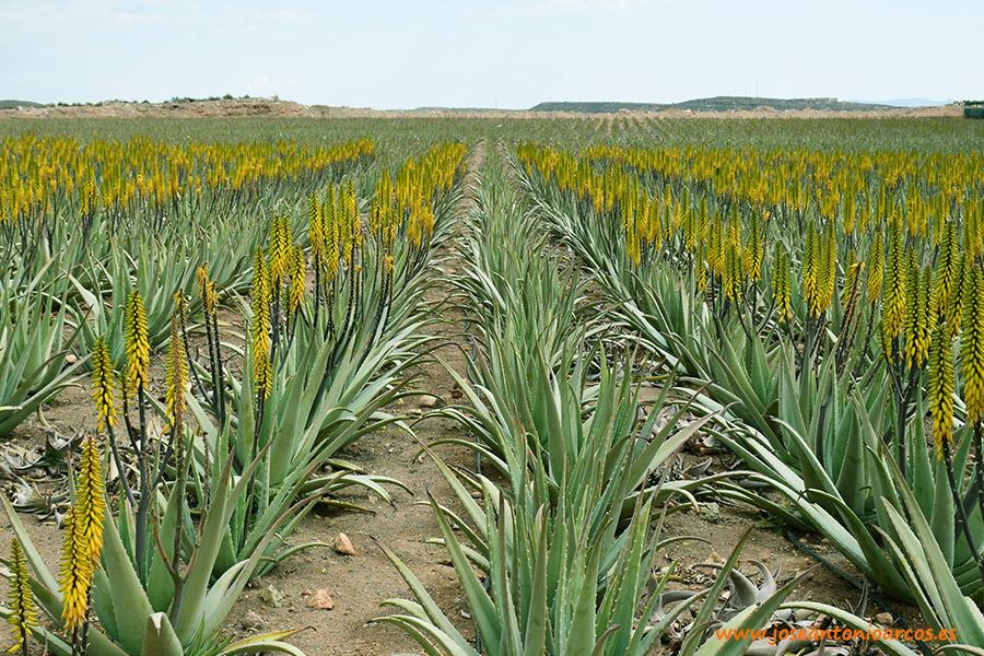 La finca de aloe vera que amanece mirando al Mediterráneo: Aloe Sanum
