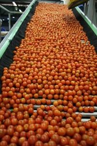 Tomate cherry. Control podrido de Citrosol con su nuevo Citrocide PLUS T