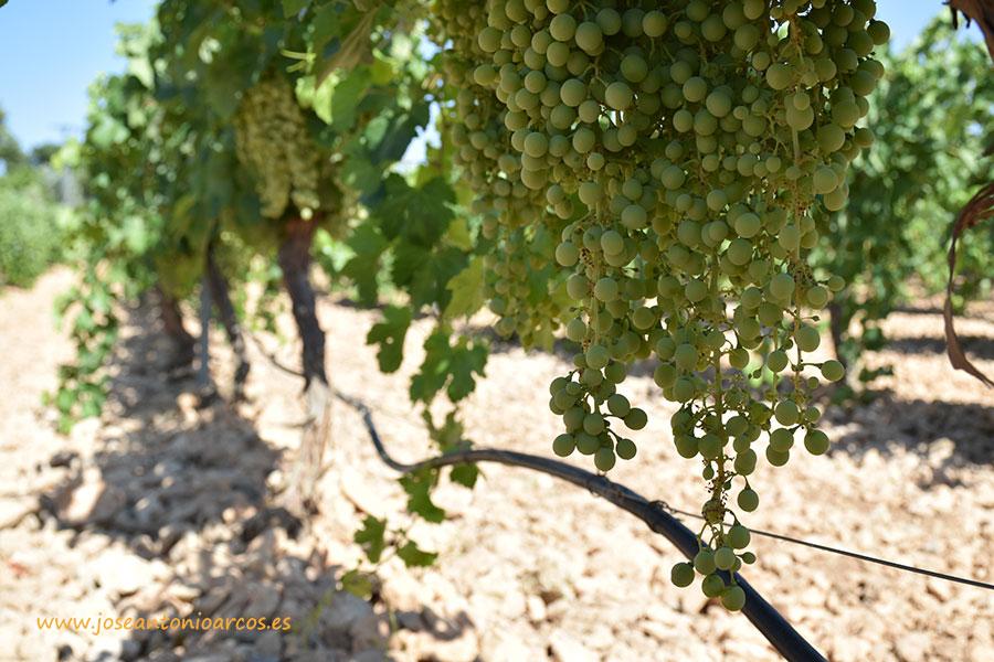 Nueva convocatoria de ayudas para reestructuración y reconversión de viñedo 2016