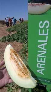 Arenales, nuevo melón piel de sapo de Enza Zaden para La Mancha