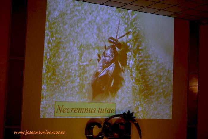 Necremnus tutae, parasioide autóctono que acaba con la Tuta Absoluta