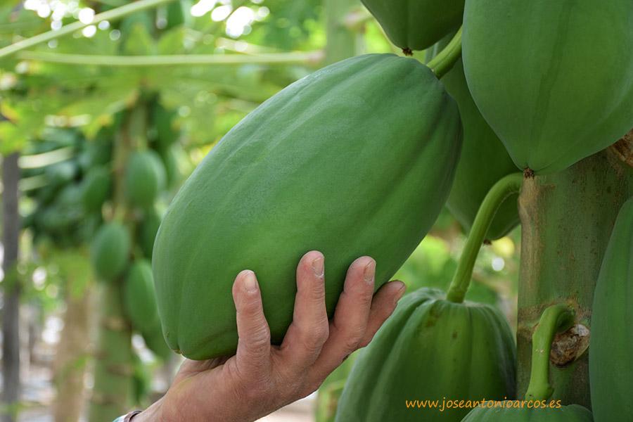 Empresas de Almería crean un grupo nacional de papaya