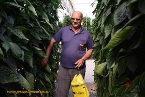 Gracián Manzano, agricultor almeriense de El Ejido, en un invernadero de la variedad de pimiento rojo, Amavisca, de HM Clause.