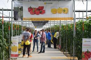 Californias rojos y amarillos en las jornadas de pimientos de HM Clause 2016 en invernaderos de El Ejido, Almería.