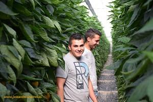 Jóvenes agricultores. Californias rojos y amarillos en las jornadas de pimientos de HM Clause 2016 en invernaderos de El Ejido, Almería.