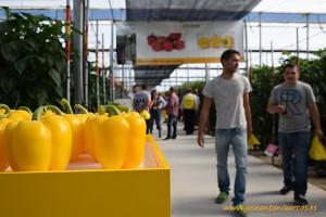 Pimientos amarillos en las jornadas de pimientos de HM Clause en invernaderos de El Ejido, Almería.