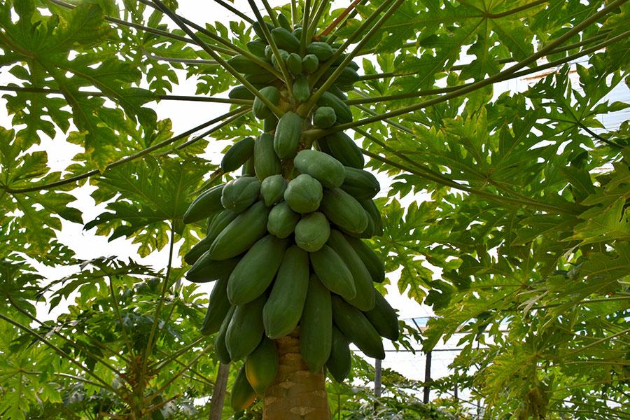Tecnova se suma a la fiebre por la papaya