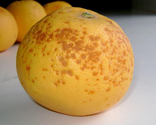 Imagen 1. Síntomas de daños por frío en pomelos