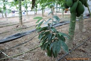 planta-de-guanabana