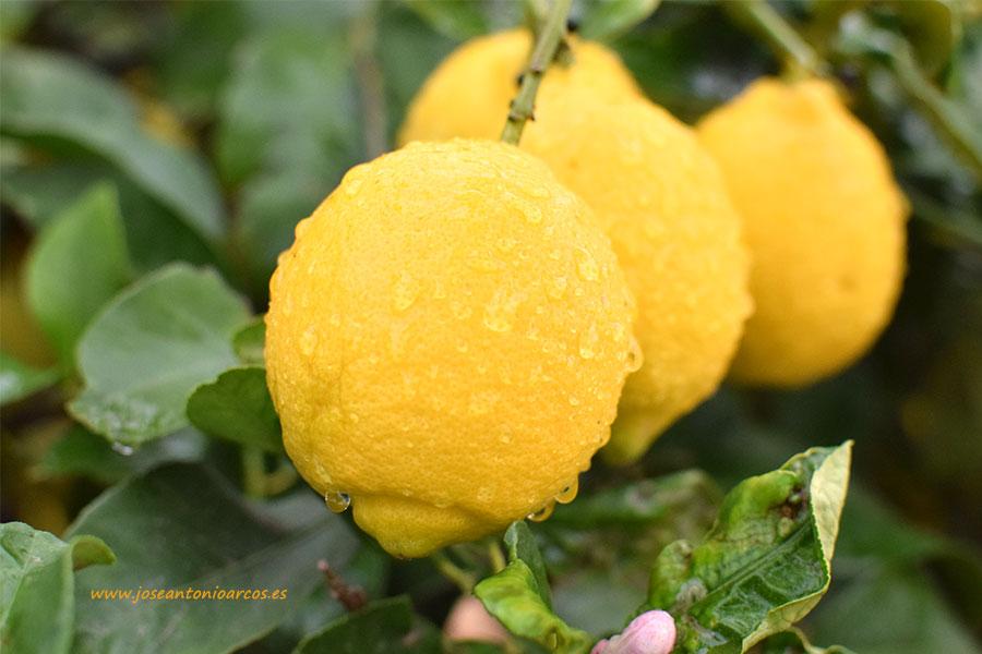 Cinco detenidos por la venta de limones robados por valor de 300.000 euros
