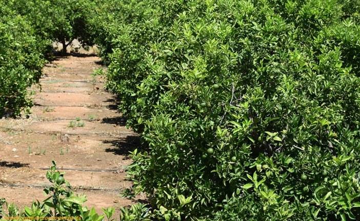 La plaga 'trips del té' a cítricos se detecta en Valencia