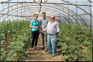 Invernaderos del sur de Madrid, producción de pepino en verano.