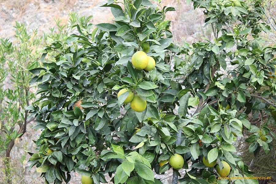 Cítricos en Granada, naranjas.