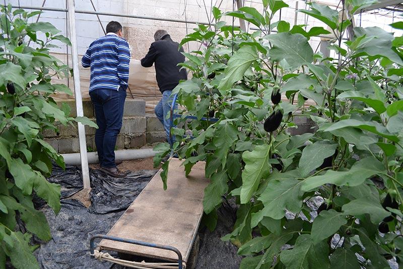 Robos en el campo denunciados por Coag-Almería. Invernaderos con roturas de cacos que roban hortalizas, como pepino o berenjena.