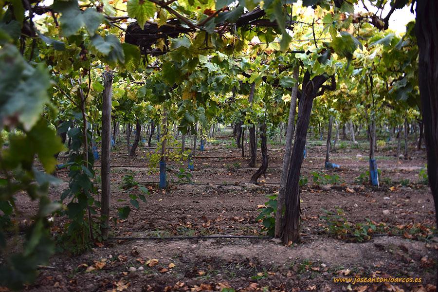 China, objetivo para la exportación de uva de mesa de Murcia en 2017