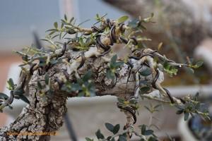 Alambrado de bonsáis