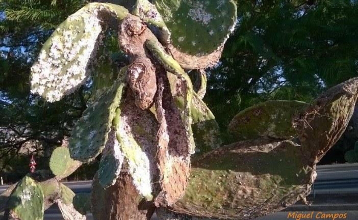 Ingenieros piden que la chumbera se descatalogue como especie invasora