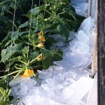 Un frente polar arrasa los cultivos en Italia