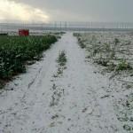 El campo de Cartagena se dibuja de blanco