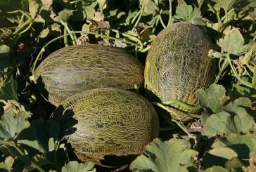 Syngenta presenta en La Mancha su nuevo catálogo de melón