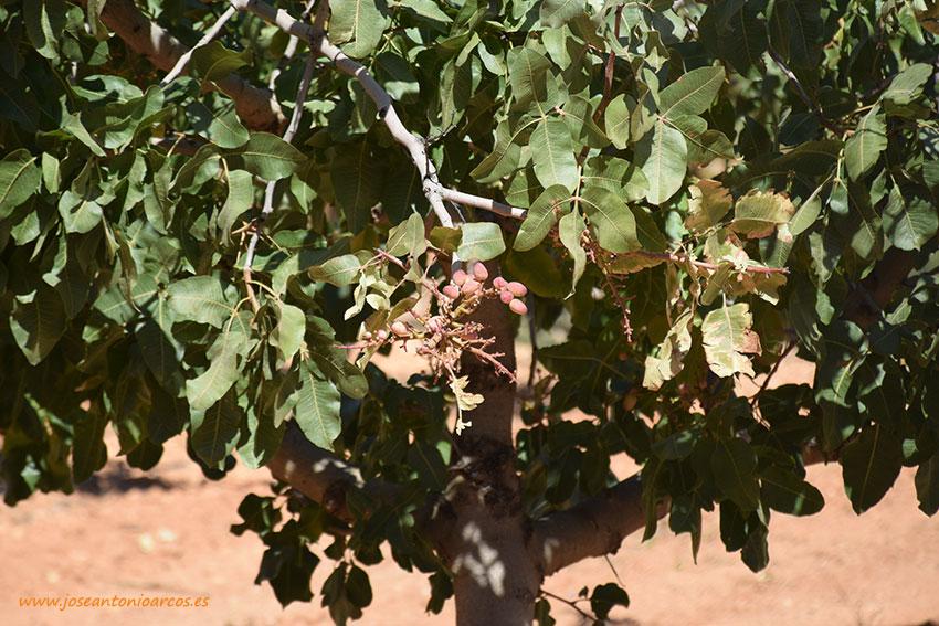 Día 4 de marzo. II Jornada técnica sobre el cultivo del pistacho. Cádiz