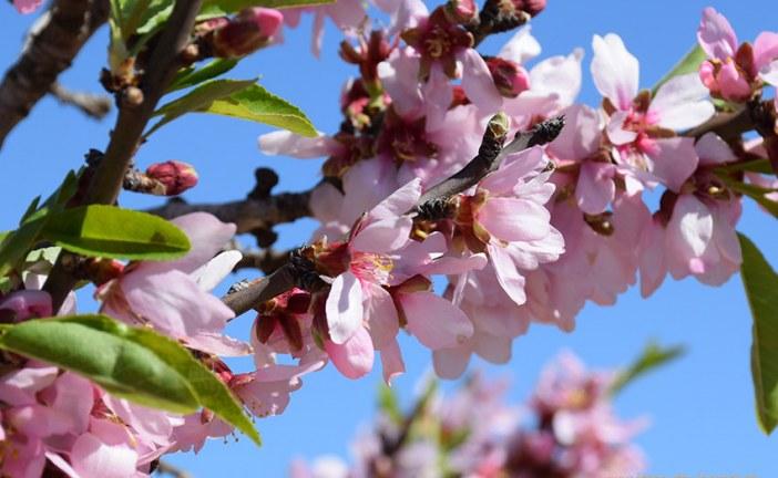 Se inician las 'Rutas Almendro en Flor'