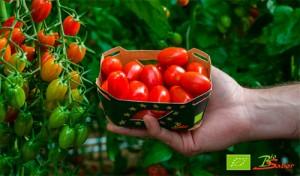 Tomate-Cherry-Angelle-Biosabor