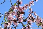 El Almendro, 'Prunus dulcis',elegido como la planta de marzo