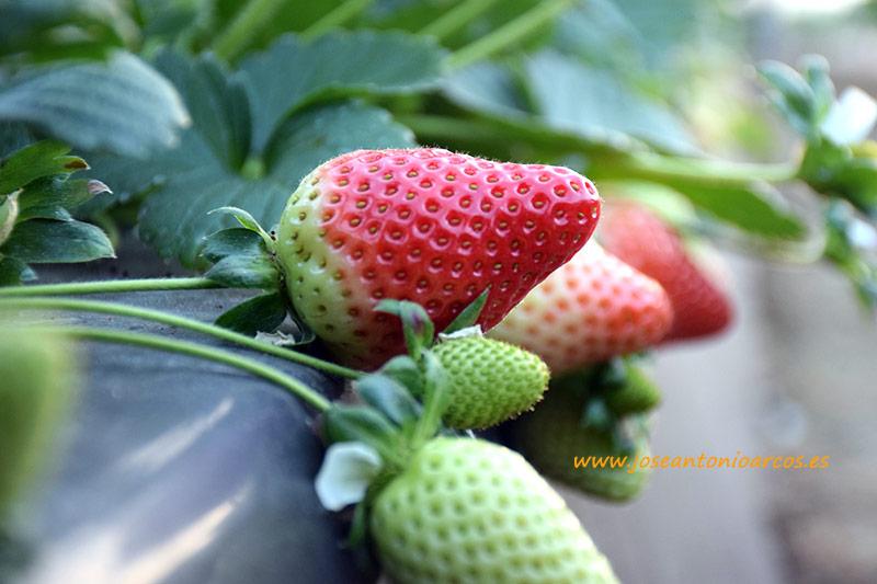Fresas de Huelva.
