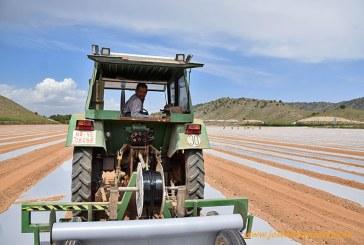 El tomate pera de Albacete es para industria