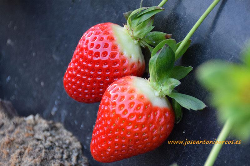 Emiratos y Omán abren su mercado a las berries onubenses