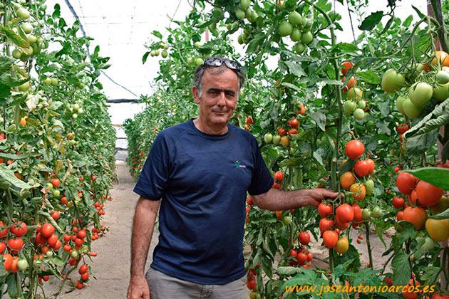 Tomate pera Nikomate