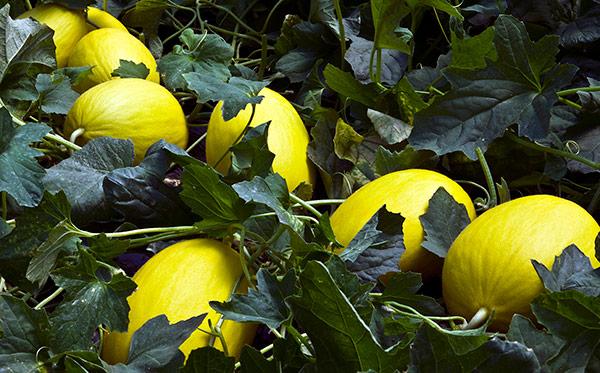Melón amarillo Fenicio y Malerva de semillas Fitó