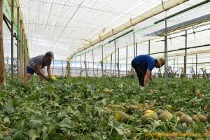 Recolectando melones en Almería. Melon piel de sapo de Ramiro Arnedo.