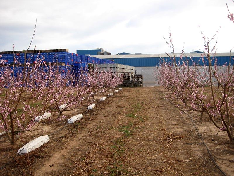 Projar y el IVIA valenciano dan en frutales soluciones a los suelos castigados