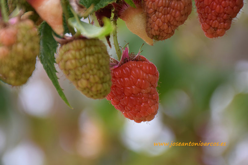 Huelva celebra el 20 y 21 su III Congreso de frutos rojos
