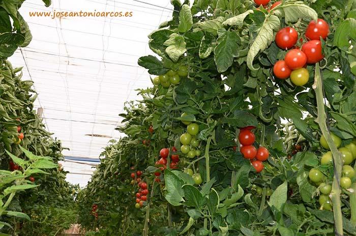 Tomates en Almería.
