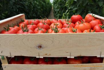 Buena campaña de tomate en Almería