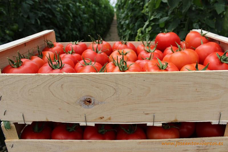 Caja de tomates en un invernadero de Almería.