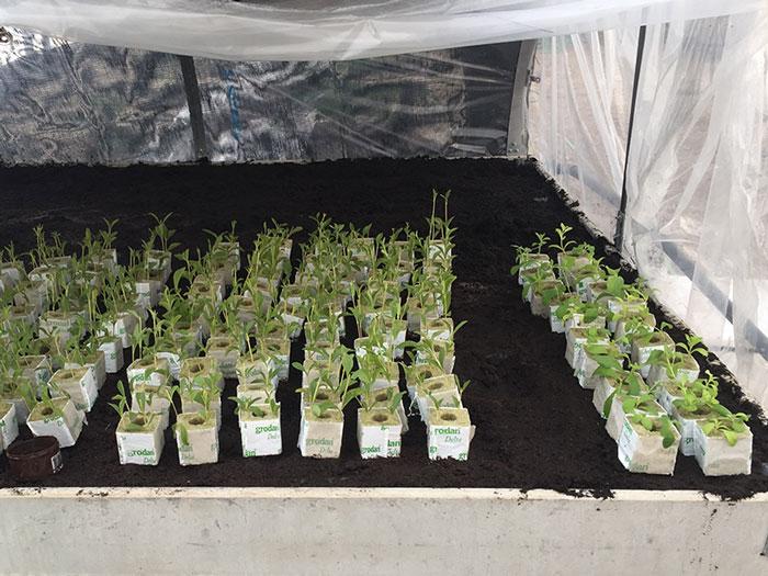 Estudio-del-cultivo-de-Stevia-en-invernadero