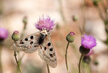 Identifican una mariposa en peligro de extinción