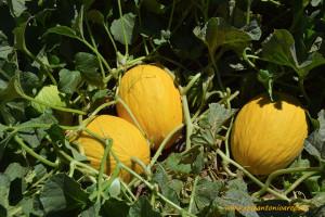Melon-Amarillo-1272-de-Gautier