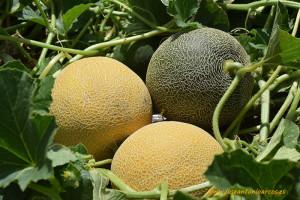 Línea Galkia. Variedad Kinetic. Melones de Nunhems de BayerCropScience.