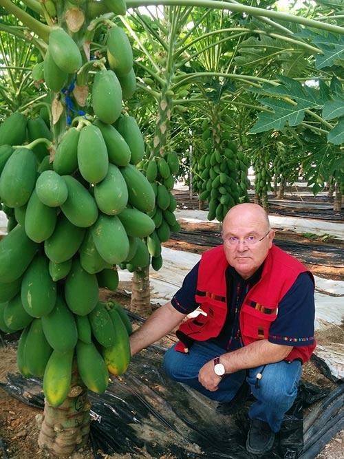 Francisco Camacho en sus ensayos de papaya en la finca experimental UAL-Anecoop.