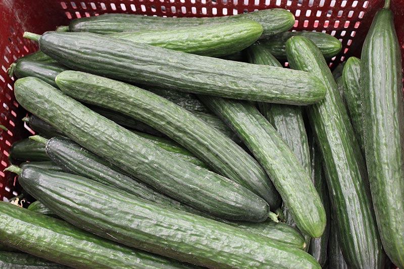 La exportación de pepino creció el 39% y su precio el 56%