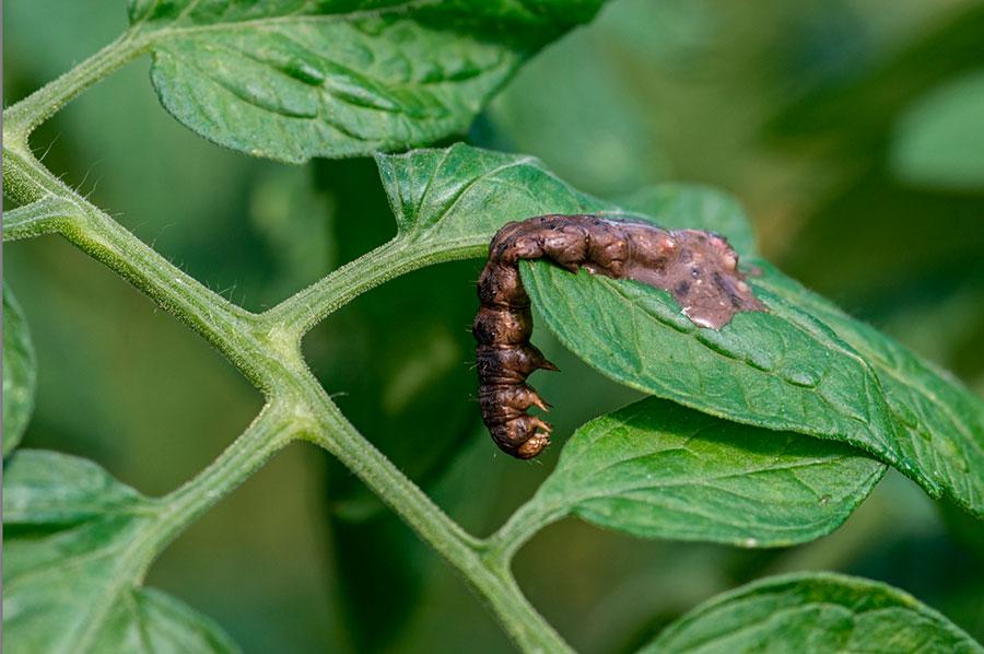 Virus entomopatógenos: avances en control de plagas de lepidópteros