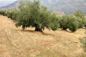 SEAE propone impulsar soluciones agroecológicas para la Xylella