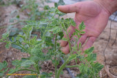 El tomate sufre la peor oleada de virosis de los últimos años