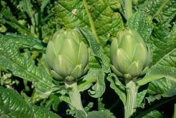 La alcachofa española de verano triplica su producción en los últimos 5 años